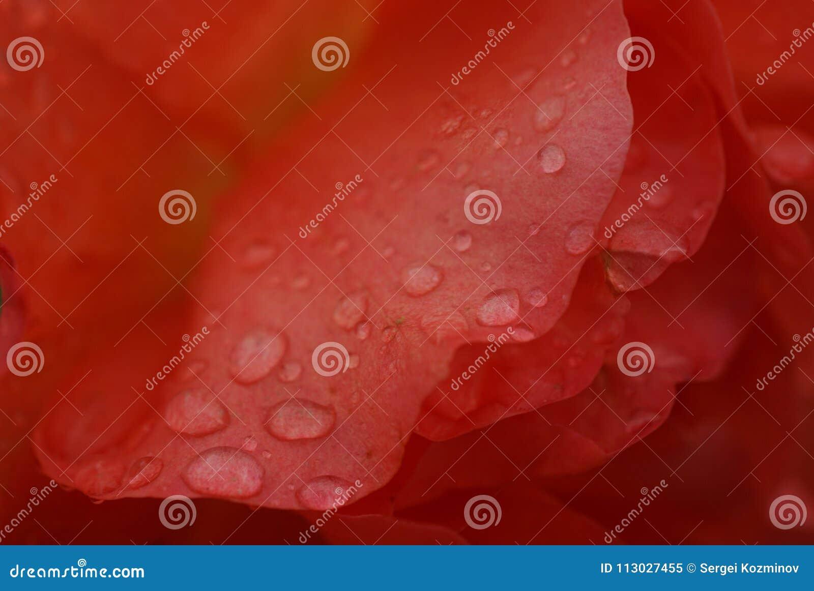 Primer de las gotitas de agua en pétalos color de rosa rojo-anaranjados