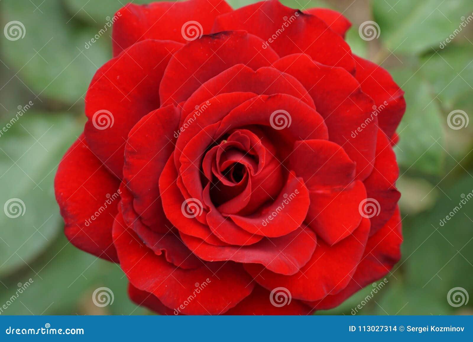 Primer de las inflorescencias del espiral de la rosa del rojo