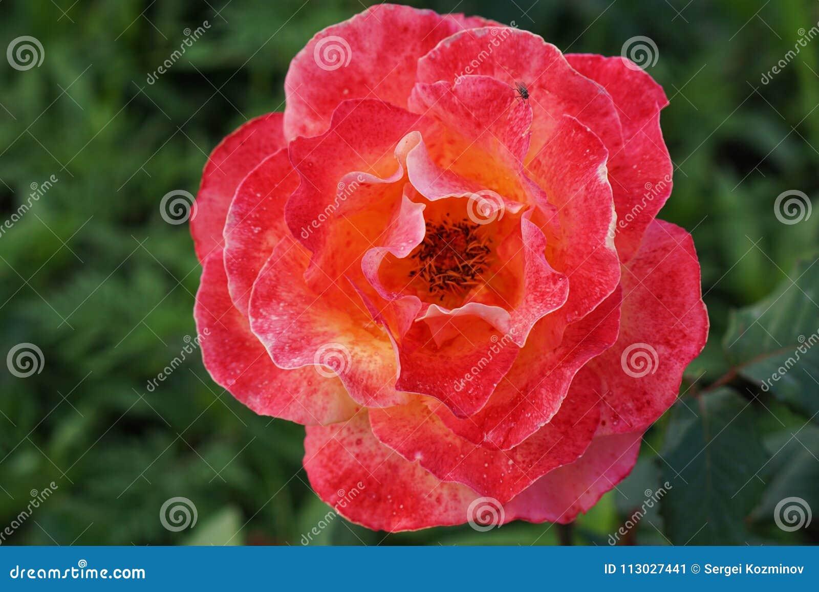 Primer de las rosas florecientes manchadas con el lunar