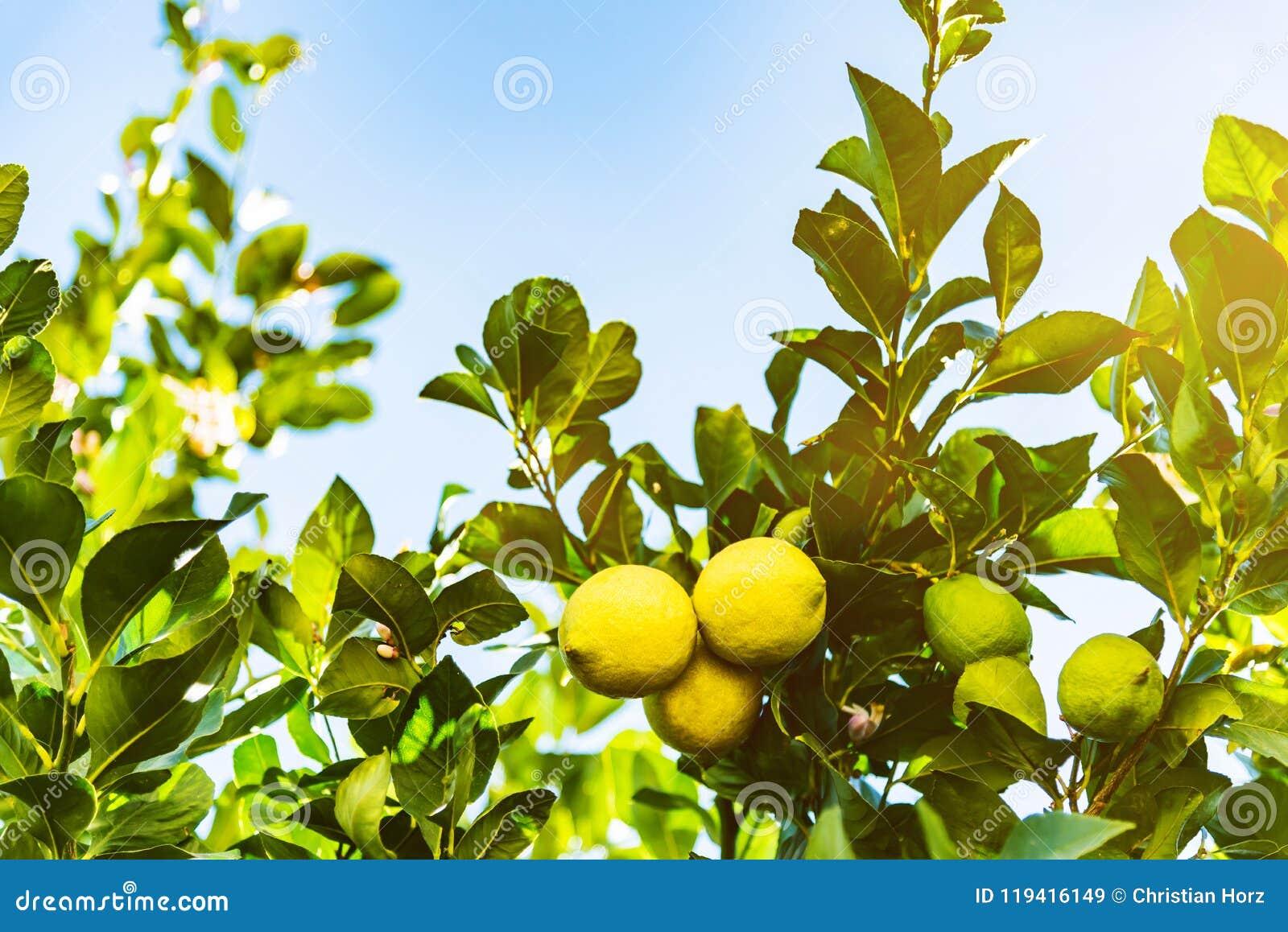 Primer de limones verdes amarillos e inmaduros maduros en árbol contra el cielo azul