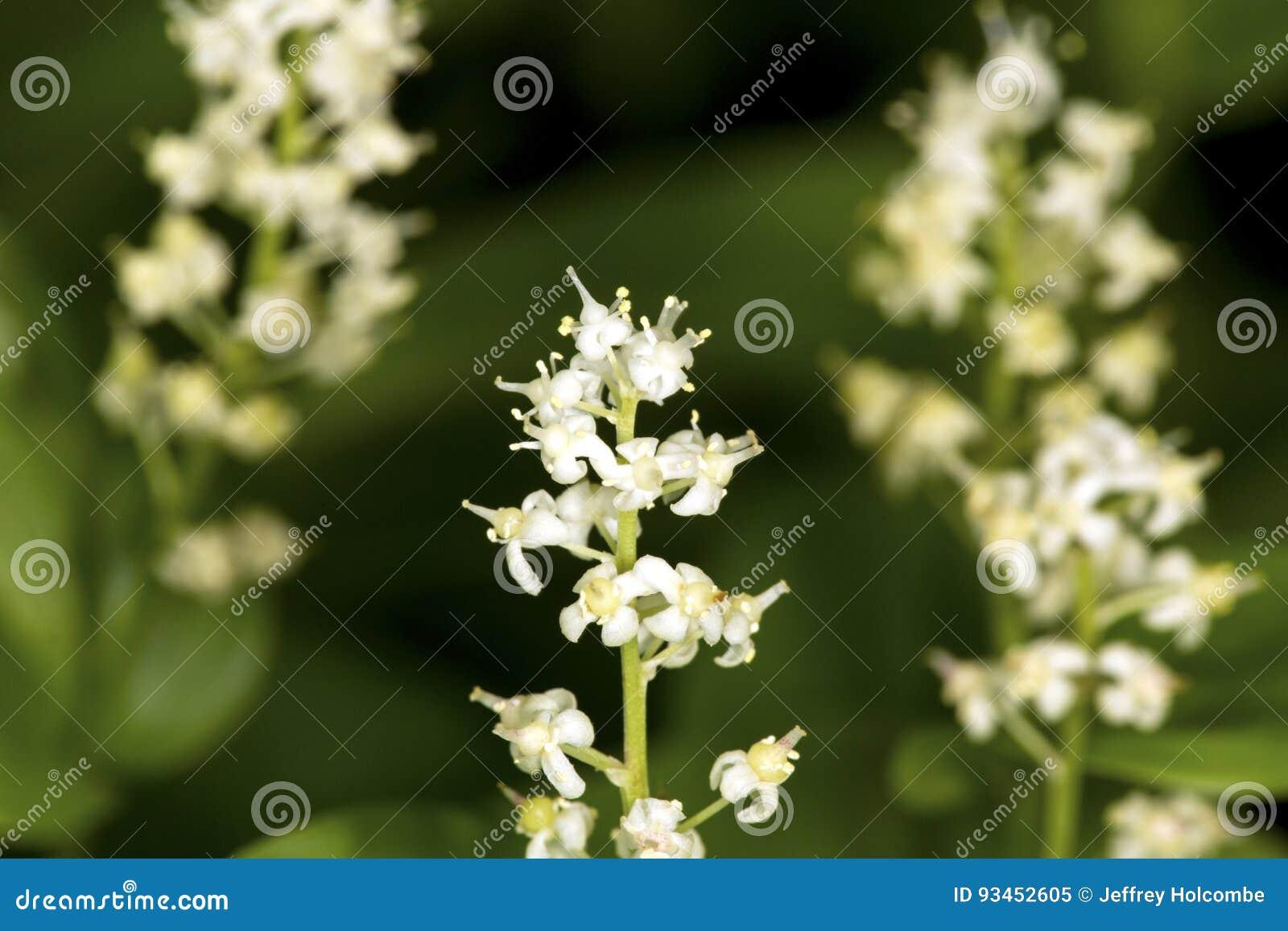 Primer de los mayflowers de Canadá en el coto de Belding en Vernon, conec