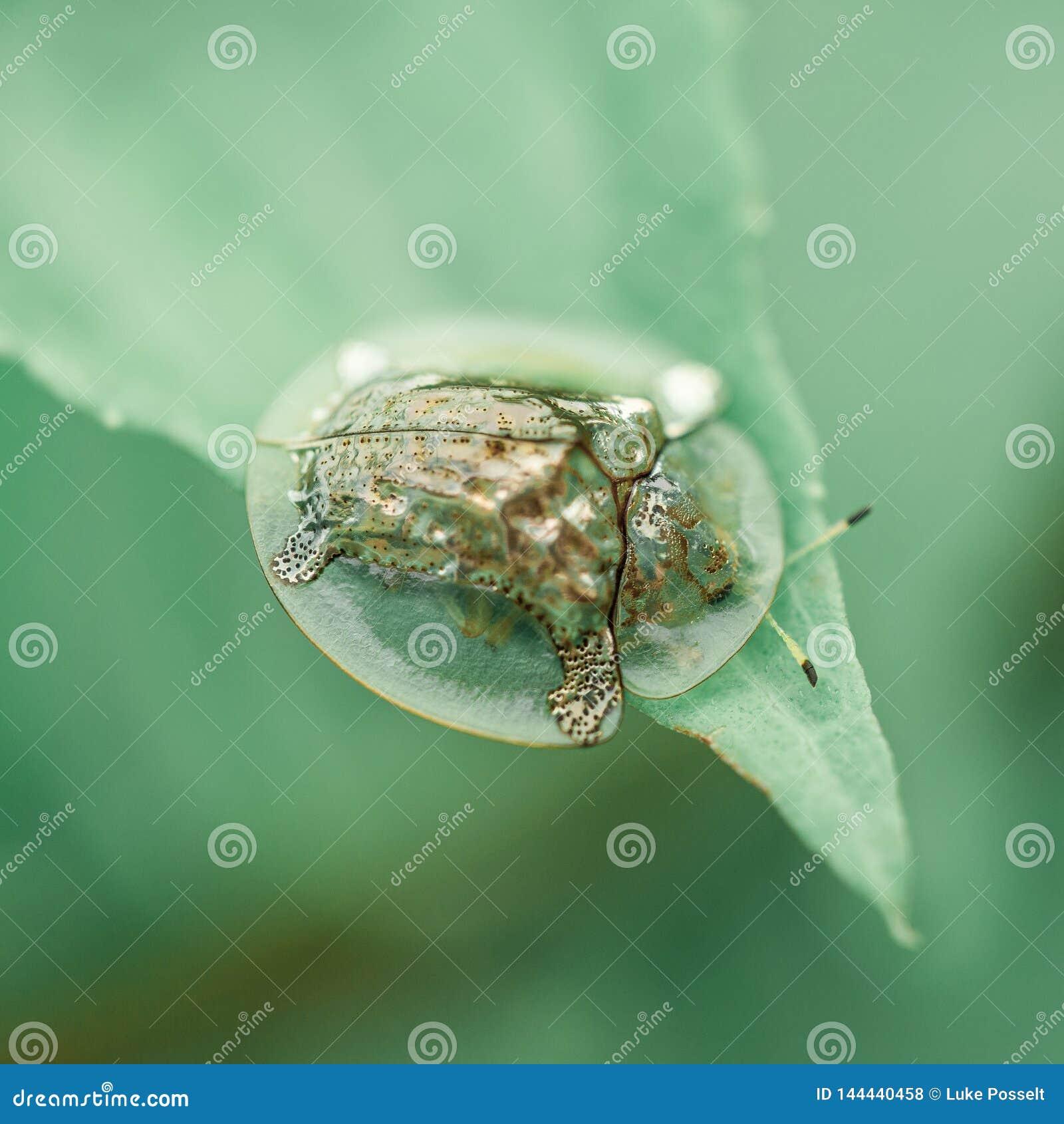 Primer de oro del escarabajo de la tortuga en la hoja verde Ubud, Indonesia
