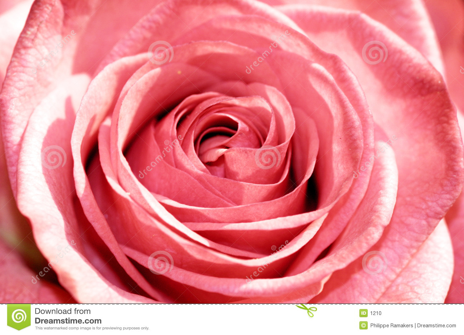 Primer de Rose