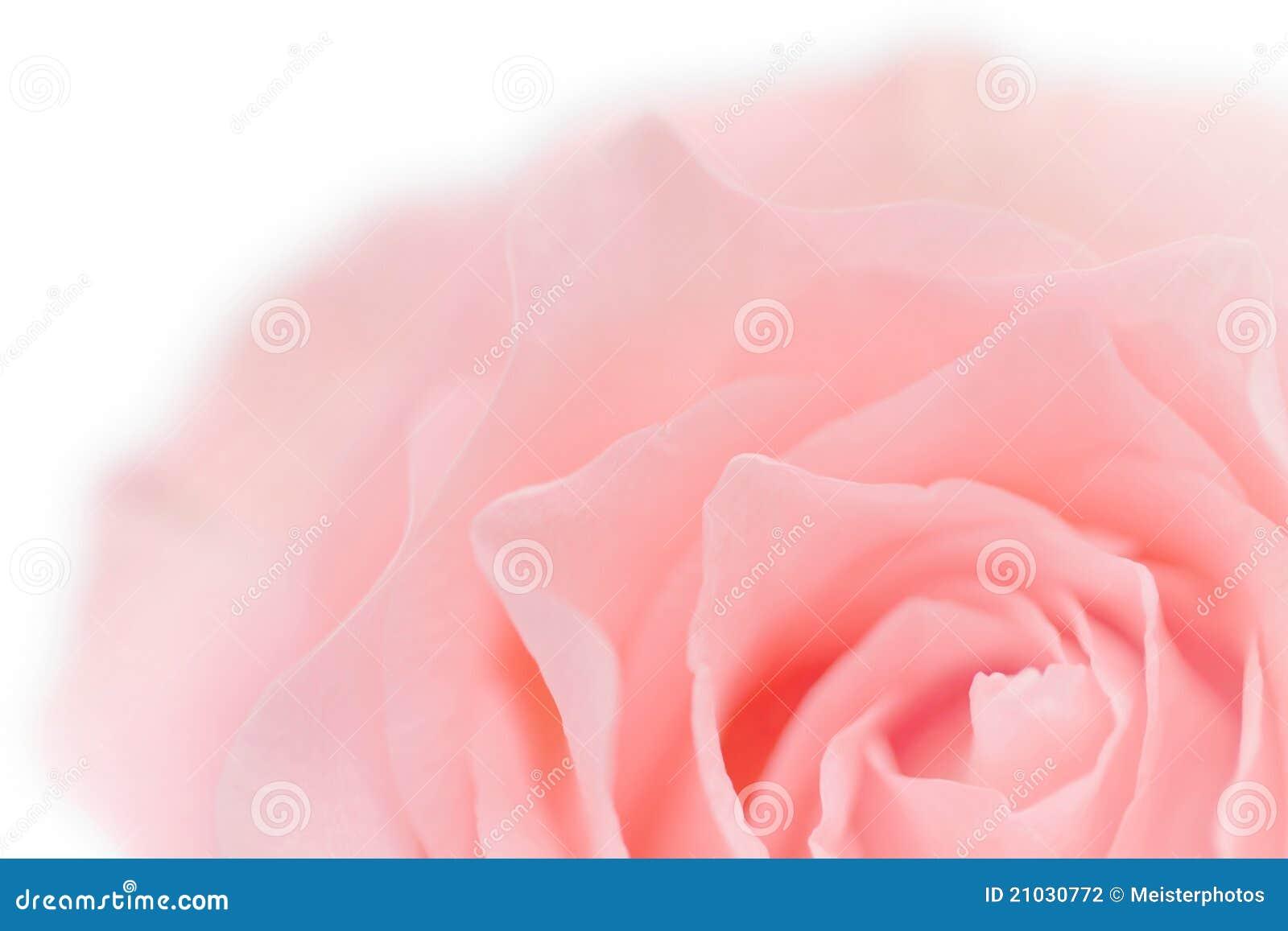 Primer De Rose Del Color De Rosa En Colores Pastel Fotografía de ...