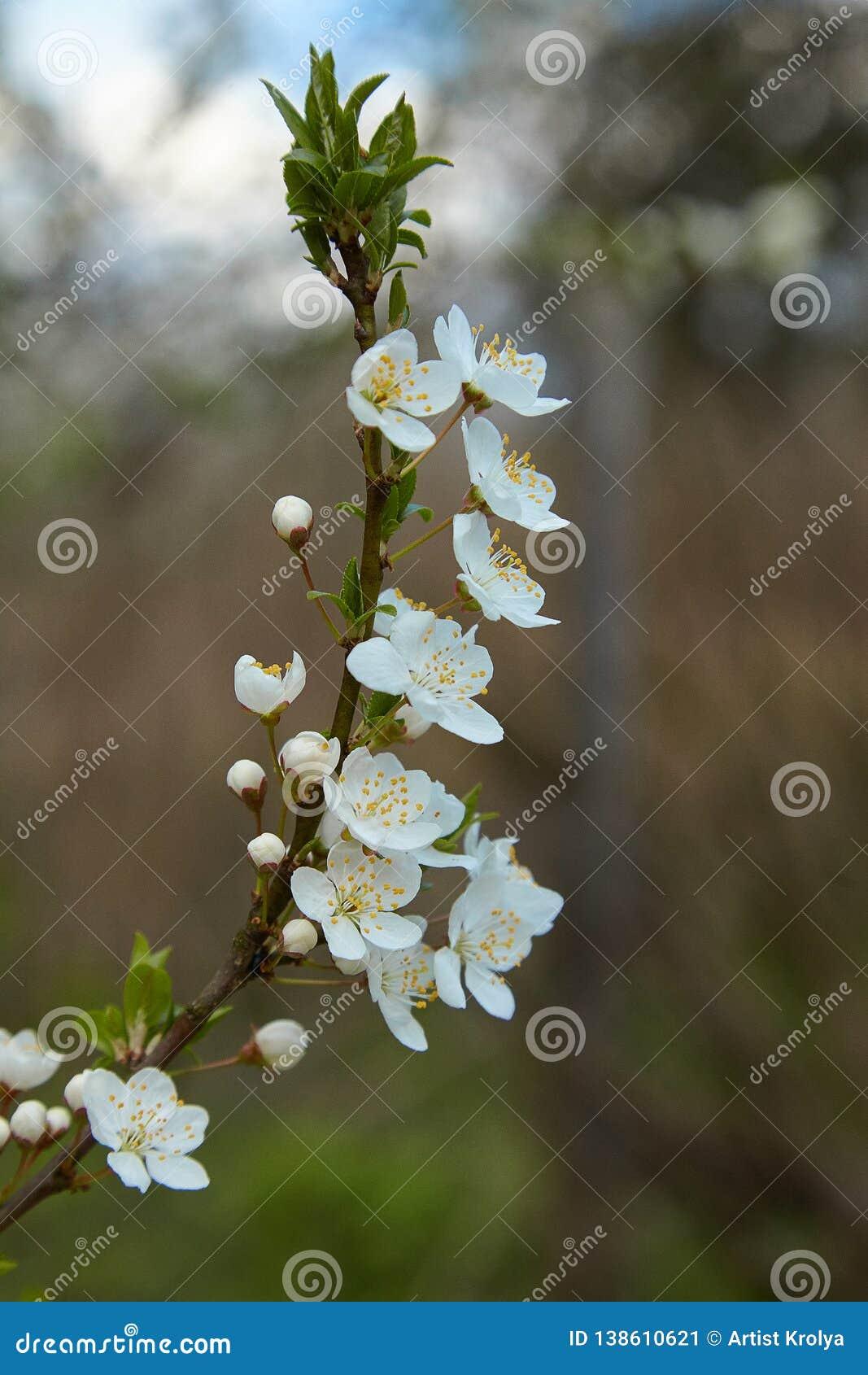 Primer de un árbol de Cherry Plum