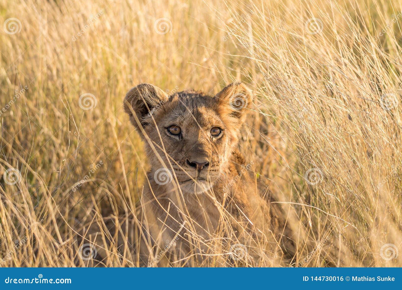 Primer de un cachorro de león en el Kalahari