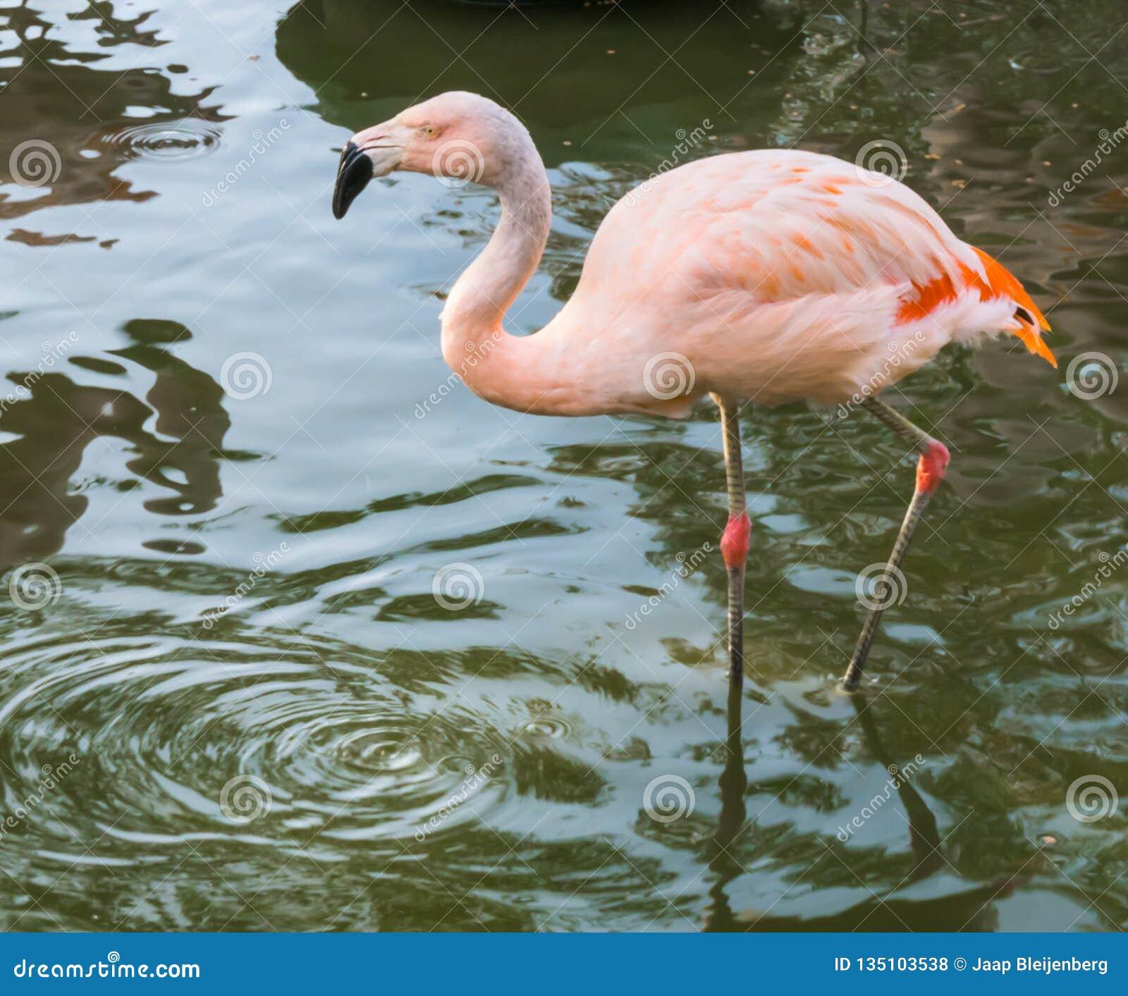 Primer de un flamenco chileno rosado que camina a través del agua, un pájaro tropical amenazante cercano de América