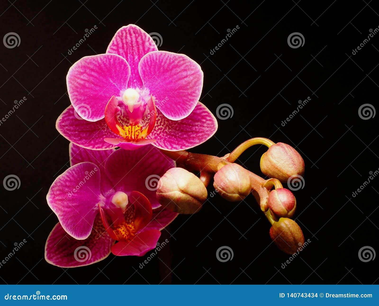 Primer de un flor del Phalaenopsis