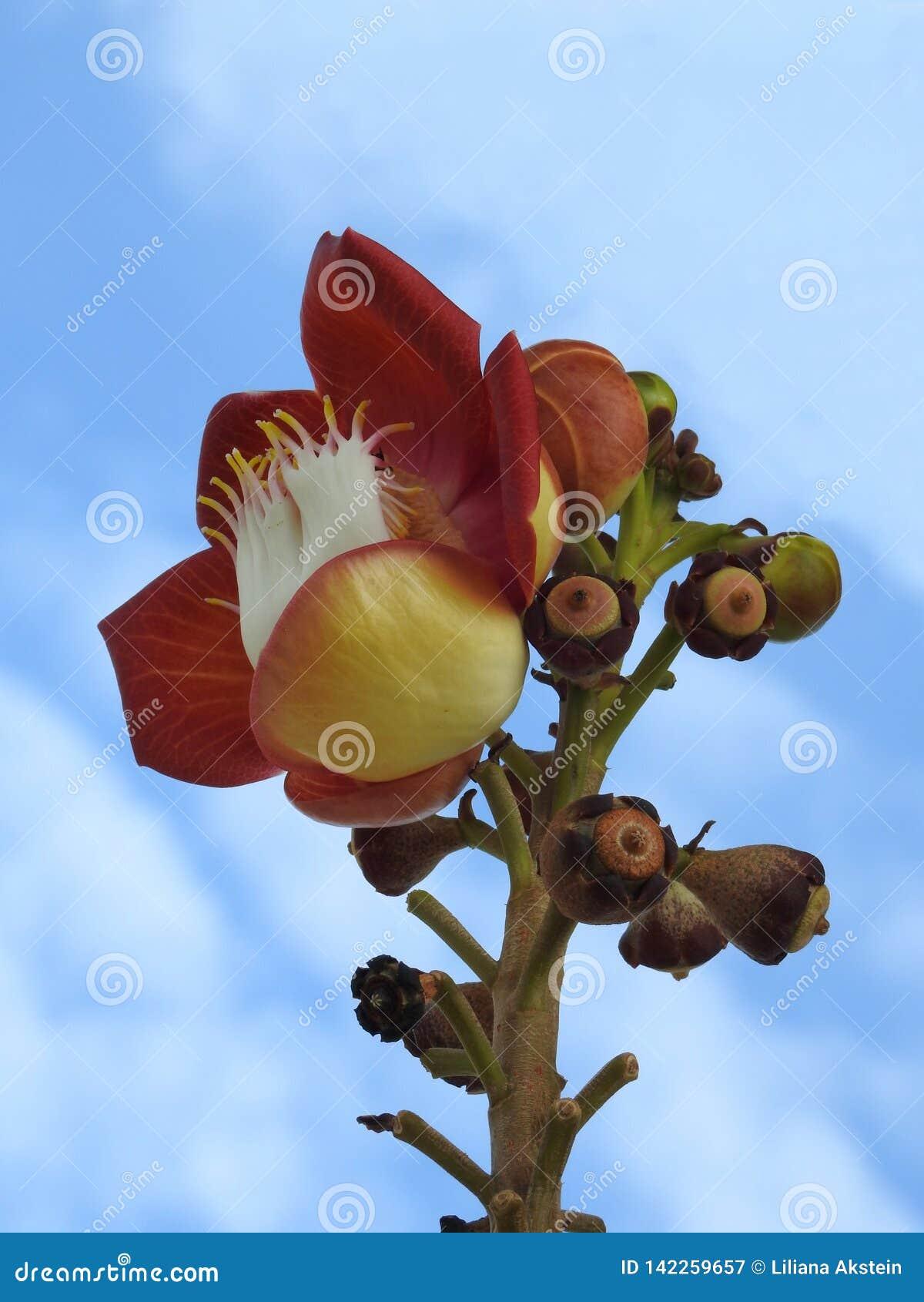 Primer de un guianensis del couroupita de la flor del árbol del obús, una flor exuberante, con los brotes