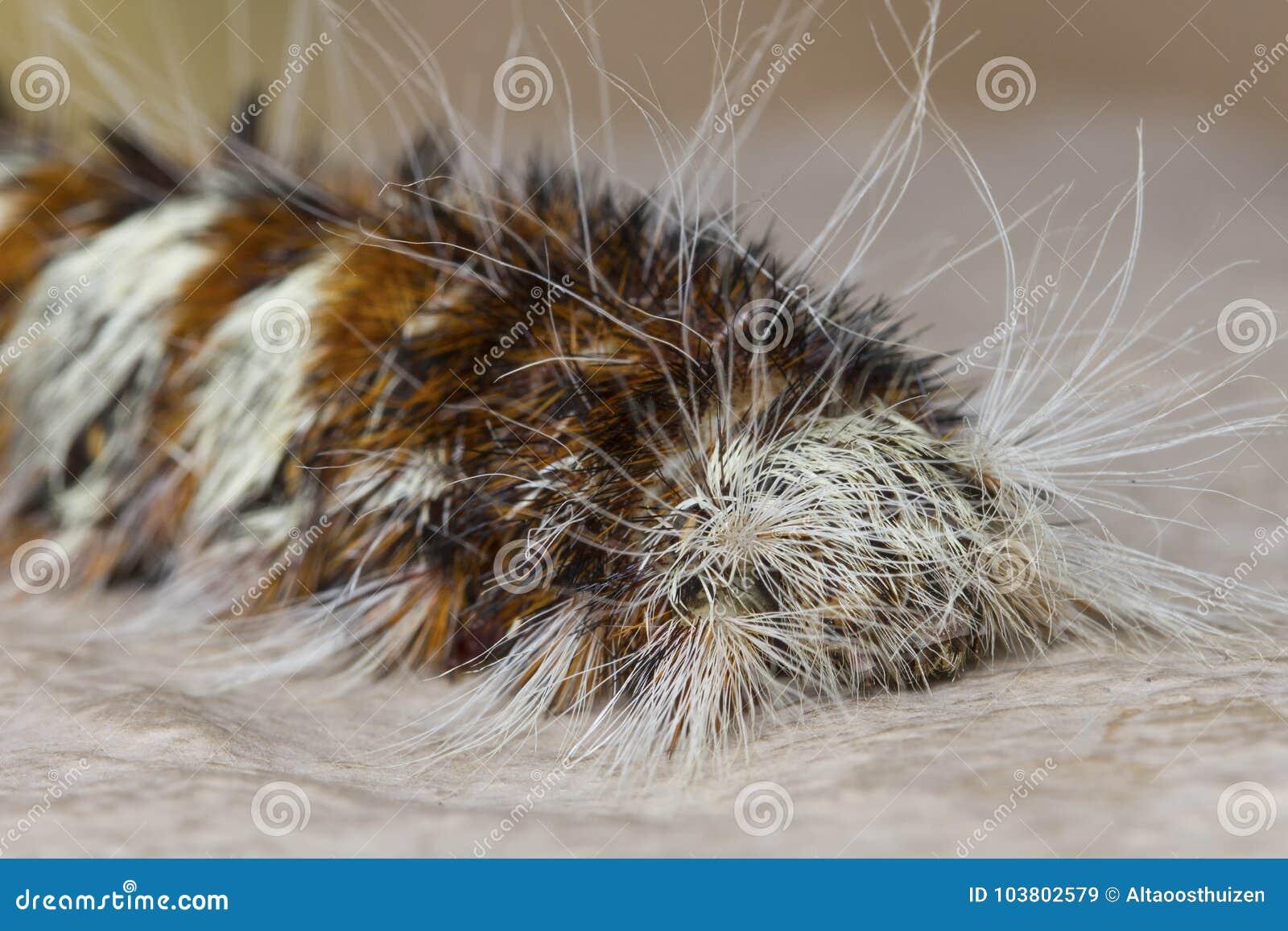 gusano marrón