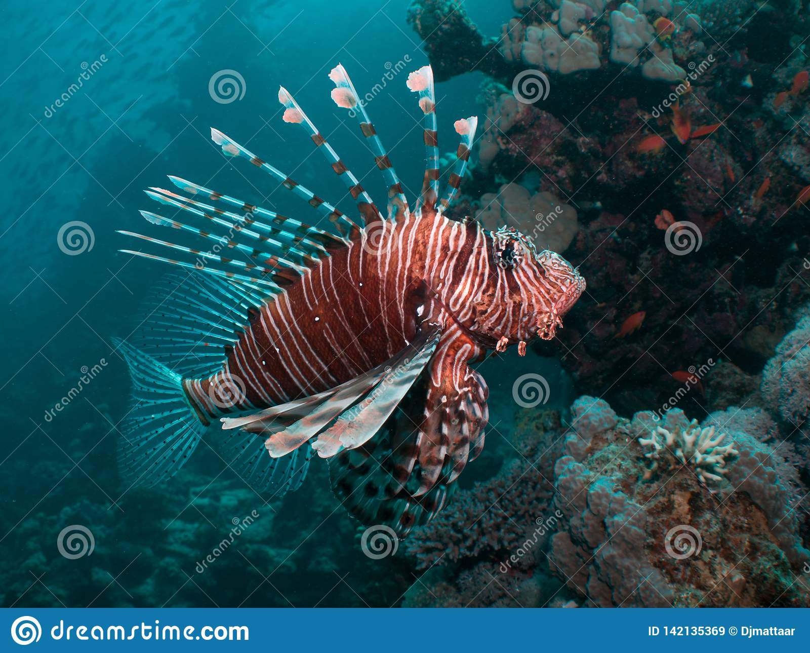 Primer de un Lionfish
