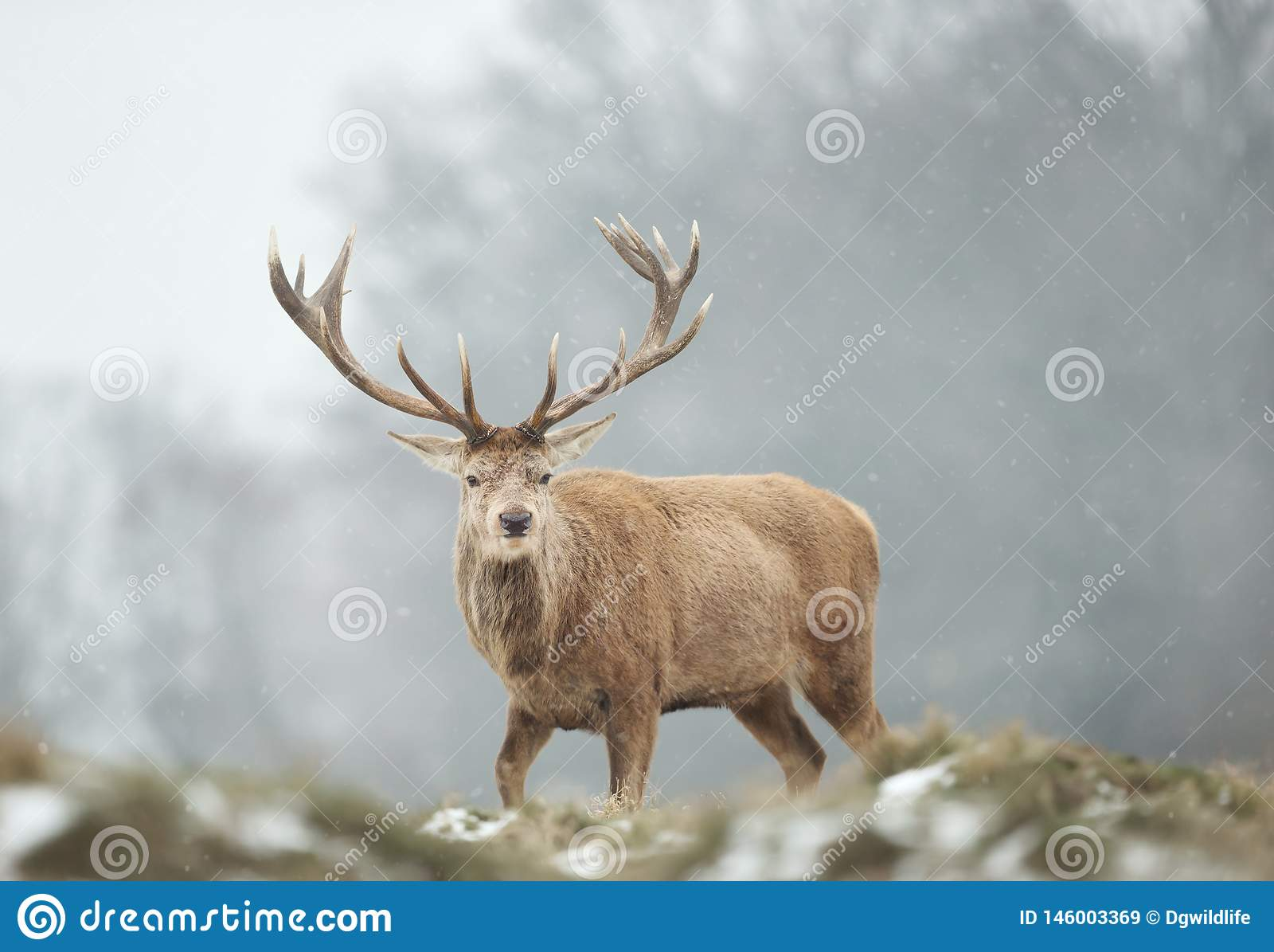 Primer de un macho de los ciervos comunes en la nieve que cae