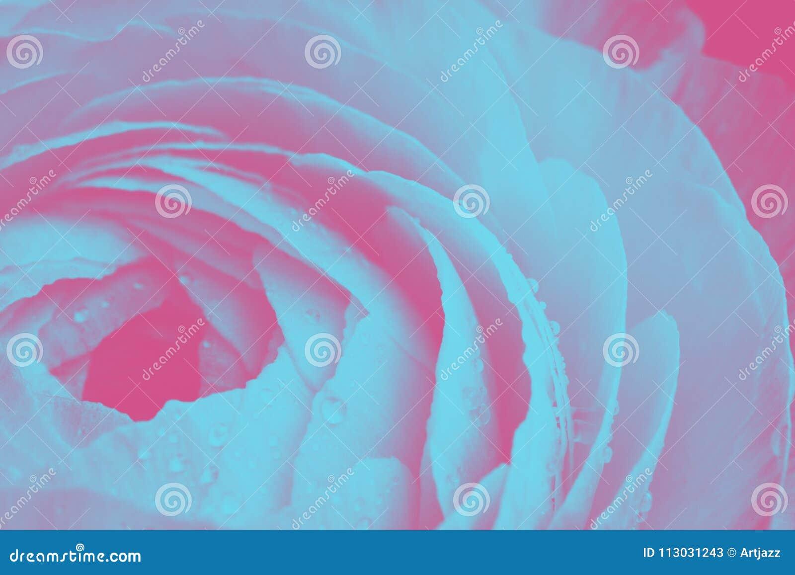 Primer de un solo detalle de la flor del ranúnculo en un fondo ultravioleta, rosado y azul del duotone