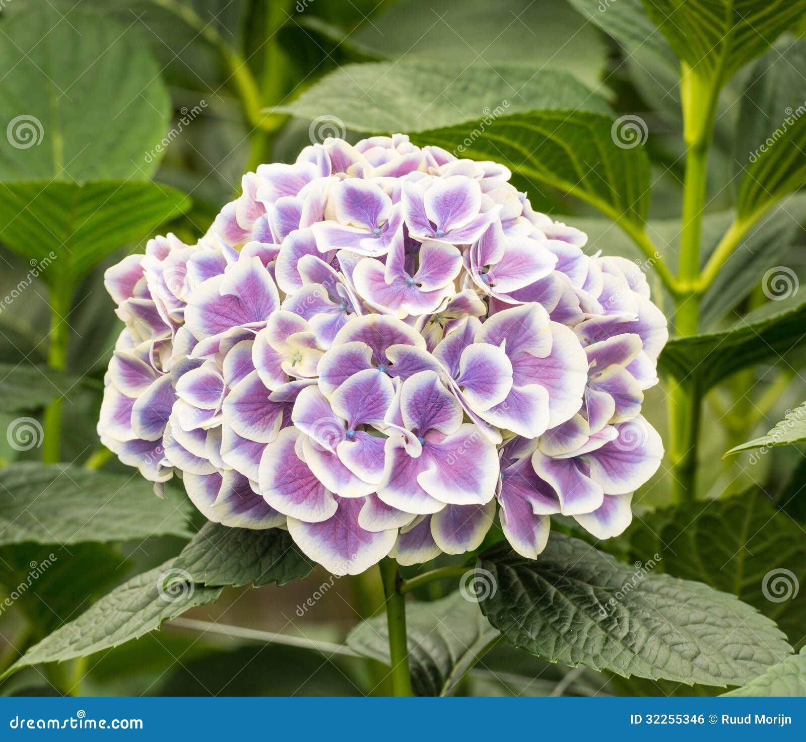 Primer de una flor blanca y p rpura de la hortensia en una - Cuidados de una hortensia ...