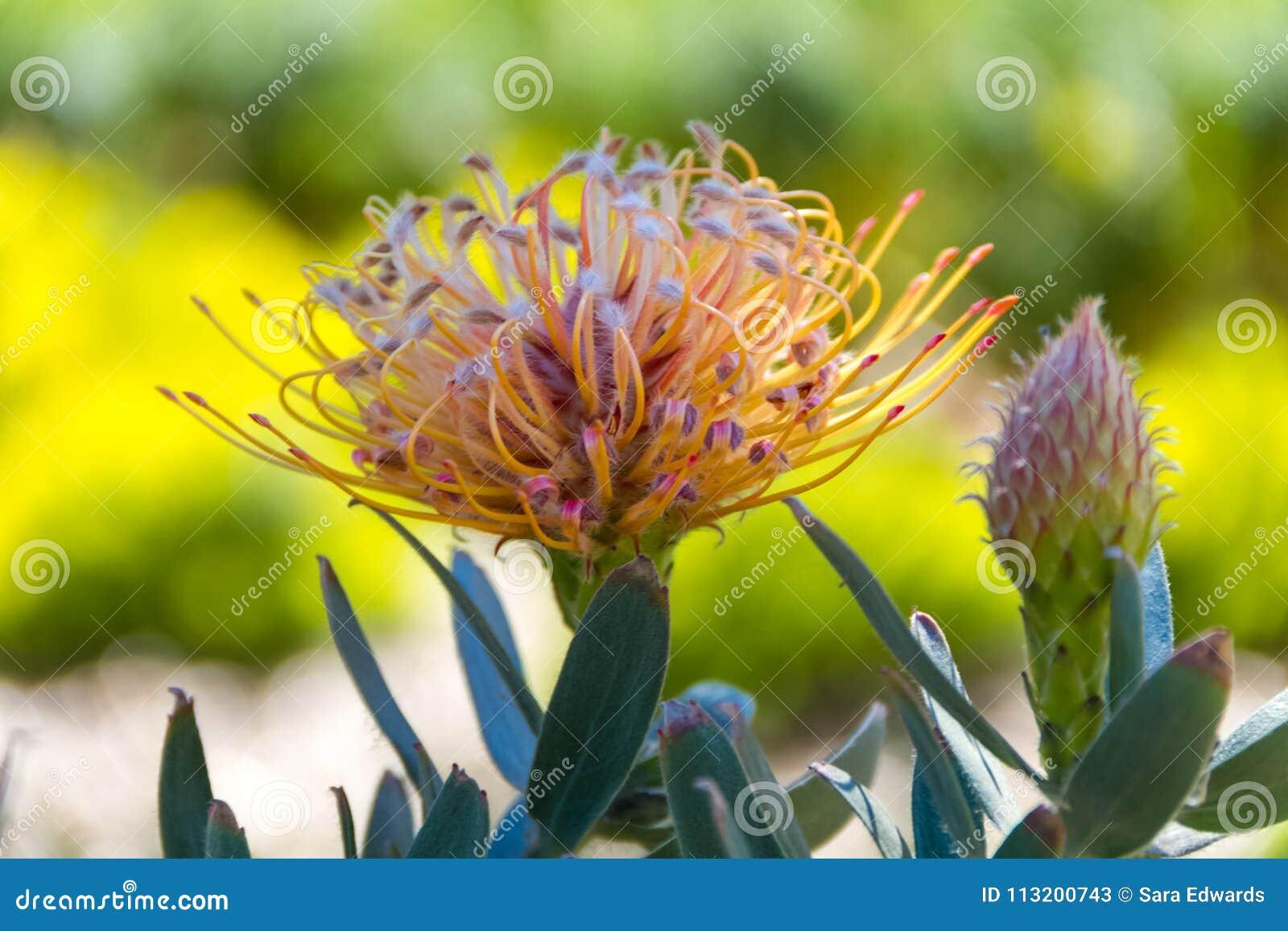 Primer de una flor de Leucospermum también conocida como acerico de la piedra caliza un natural de Suráfrica, y brote