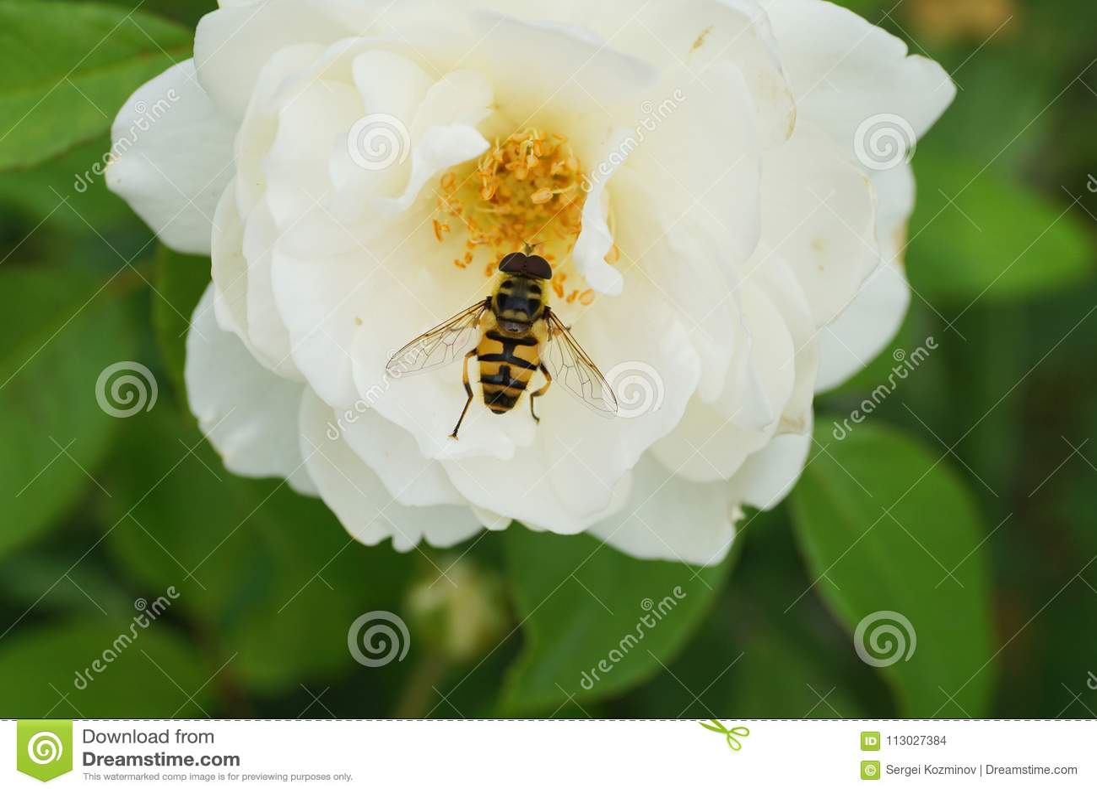 Primer de una mosca caucásica amarillo-negra hoverfly del género D