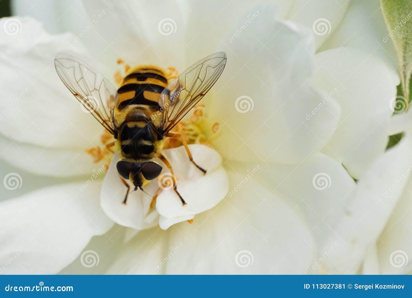 Primer de una mosca caucásica floral hoverfly del género Dasysyr