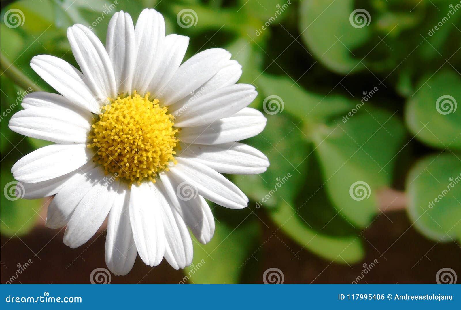 Primer de una pequeña margarita blanca, perfectamente alrededor de la flor