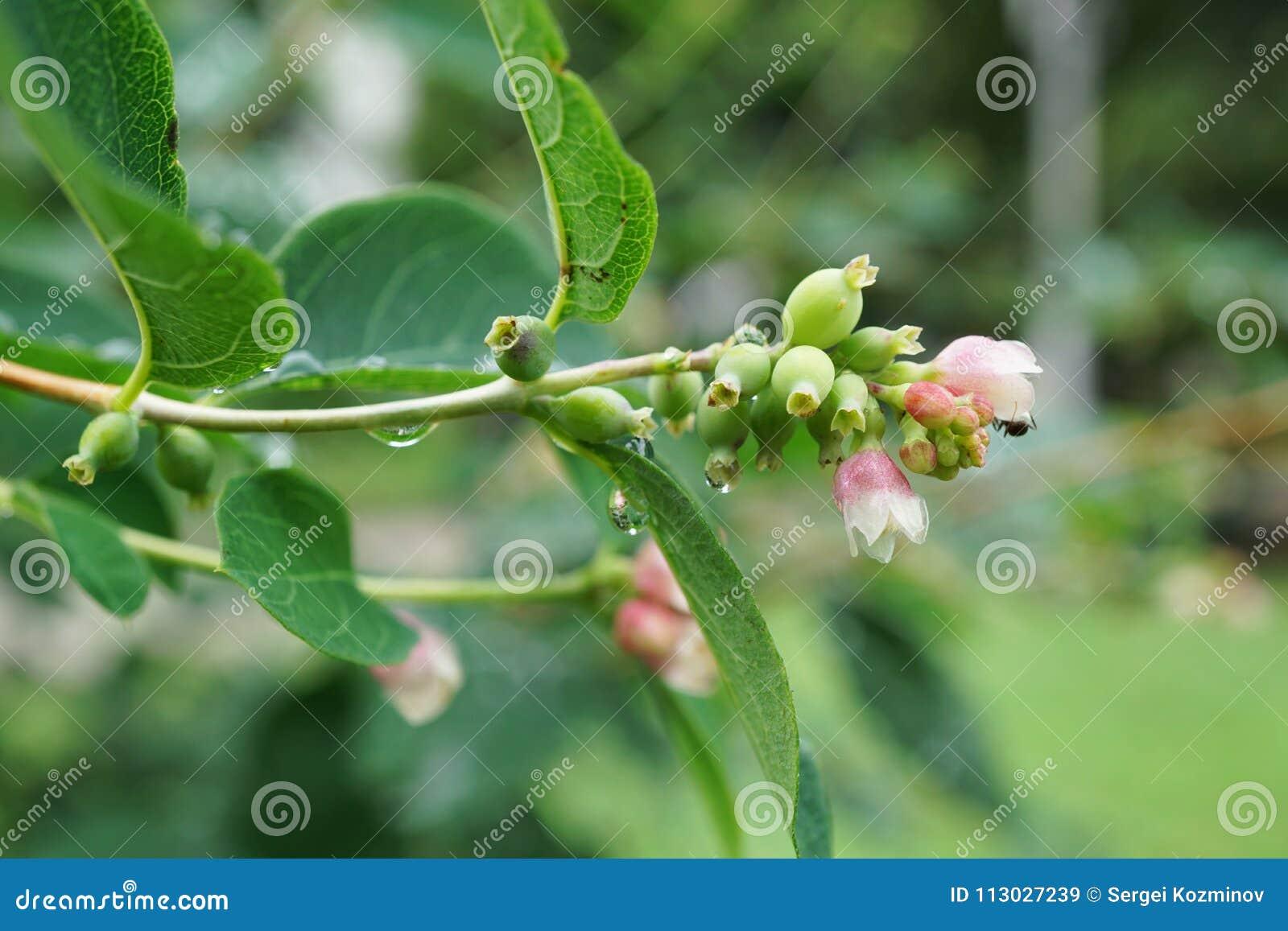 Primer de una rama con el snowberry blanco y rosado Symph de las flores