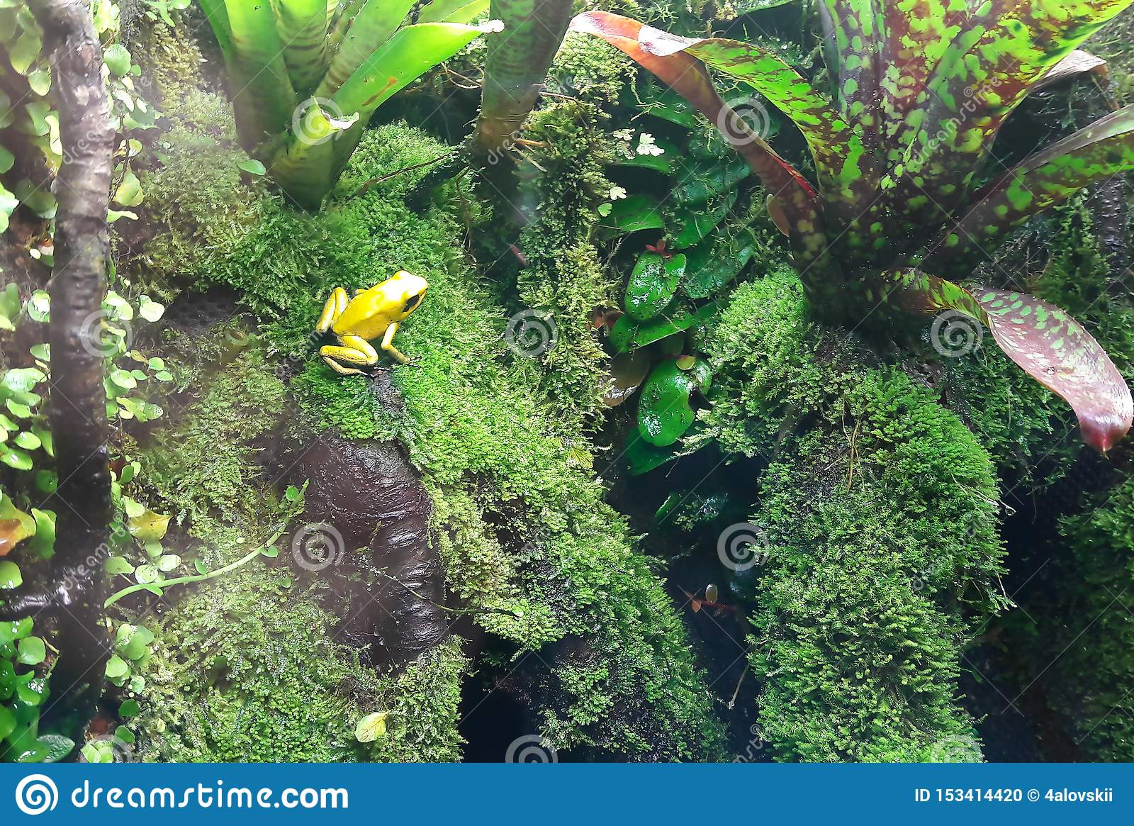 Primer de una rana de oro del veneno en una hoja en selva