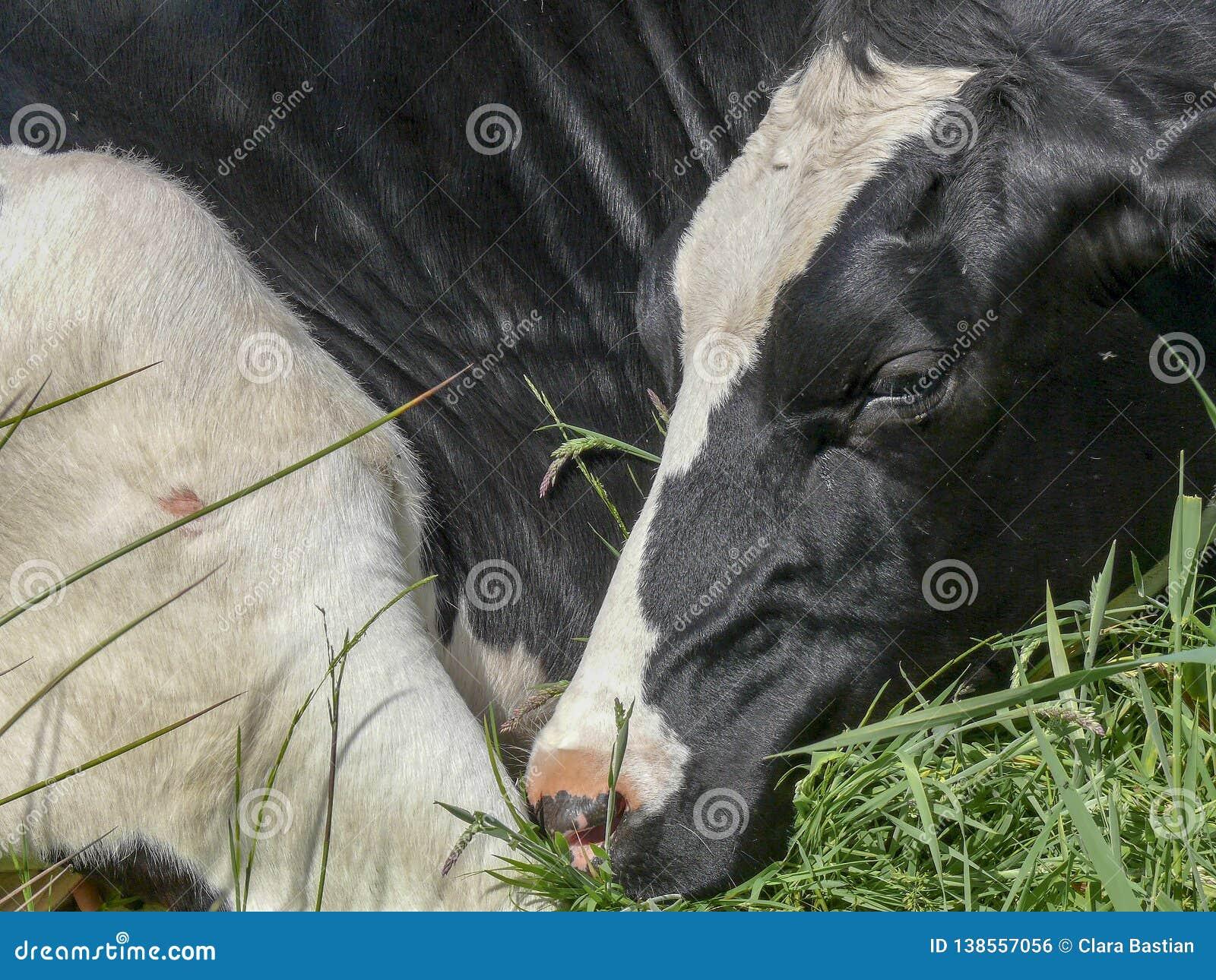 Primer de una vaca que está durmiendo en la posición fetal, encrespado para arriba, nariz contra la pierna trasera