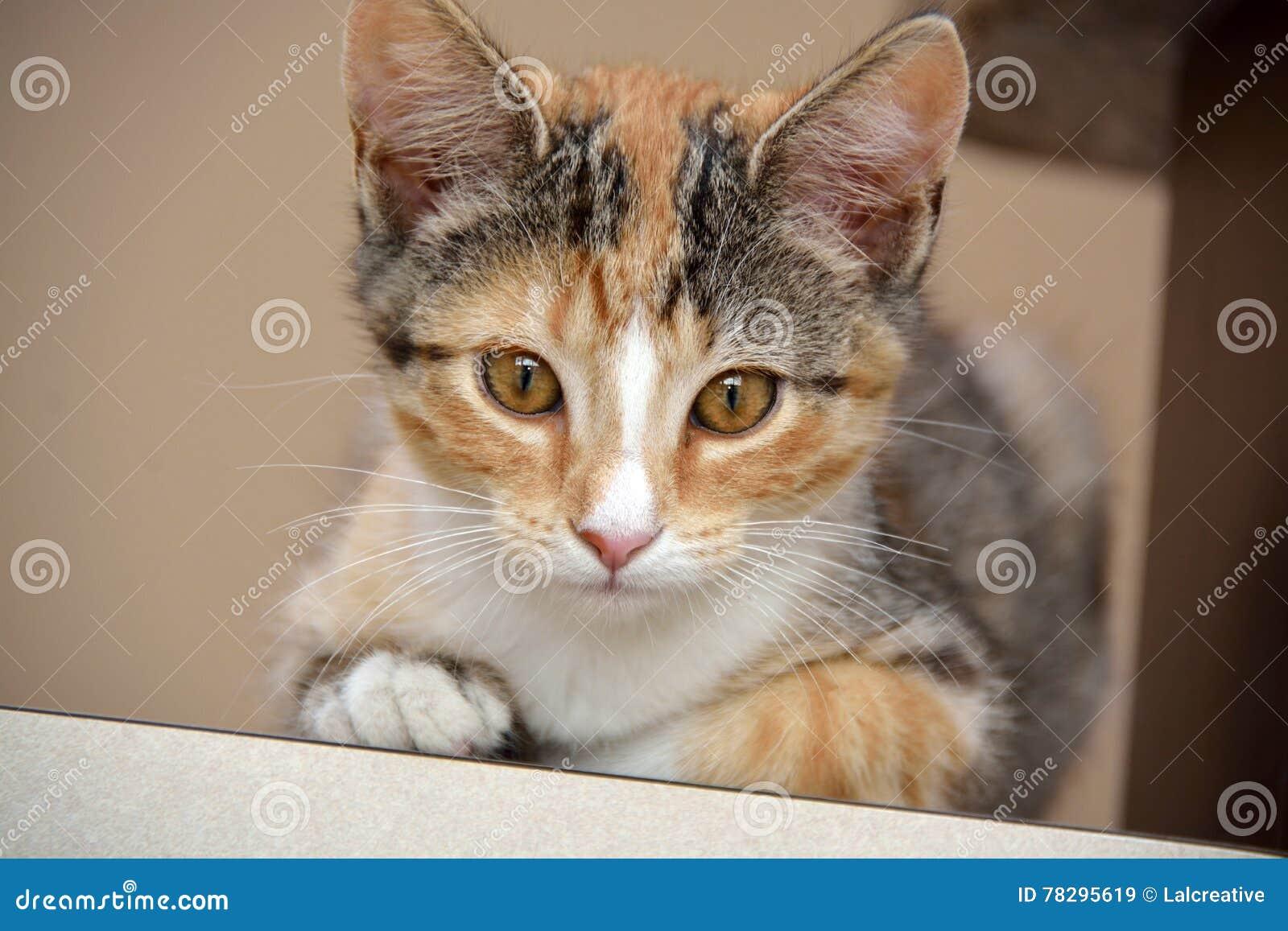 Primer del calicó femenino Kitten Laying en el contador que mira directamente la cámara, profundidad del campo estrecha
