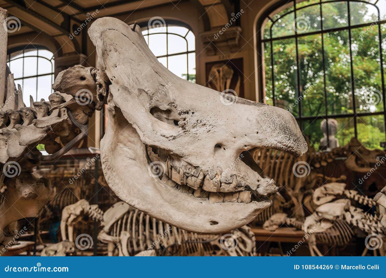 Primer Del Cráneo Animal En El Pasillo En La Galería De La ...