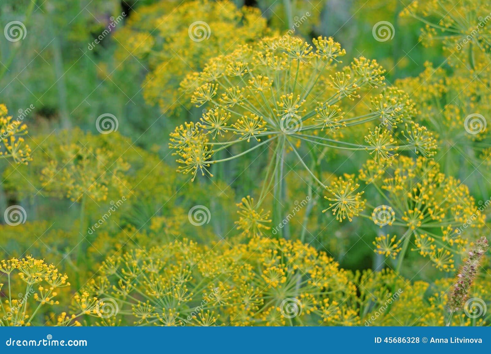 Primer del eneldo de la inflorescencia como planta del fondo