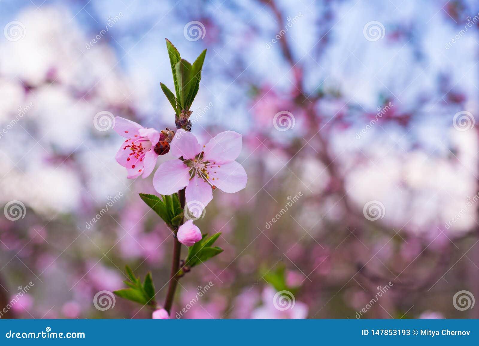 Primer del flor del melocot?n en la plena floraci?n flor rosado hermoso del melocot?n en jard?n verde
