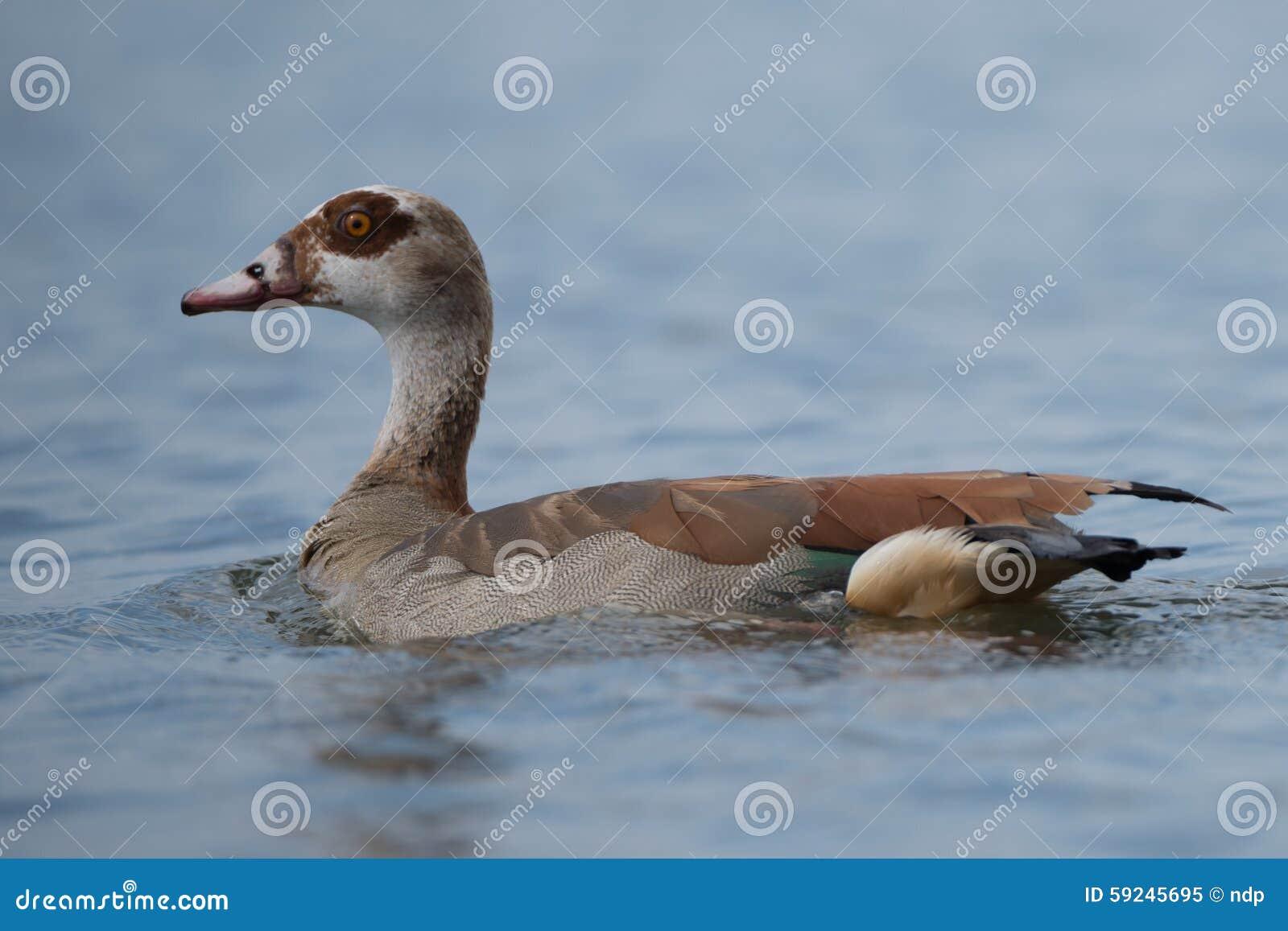 Download Primer Del Ganso Egipcio En El Lago Tranquilo Imagen de archivo - Imagen de agua, animal: 59245695