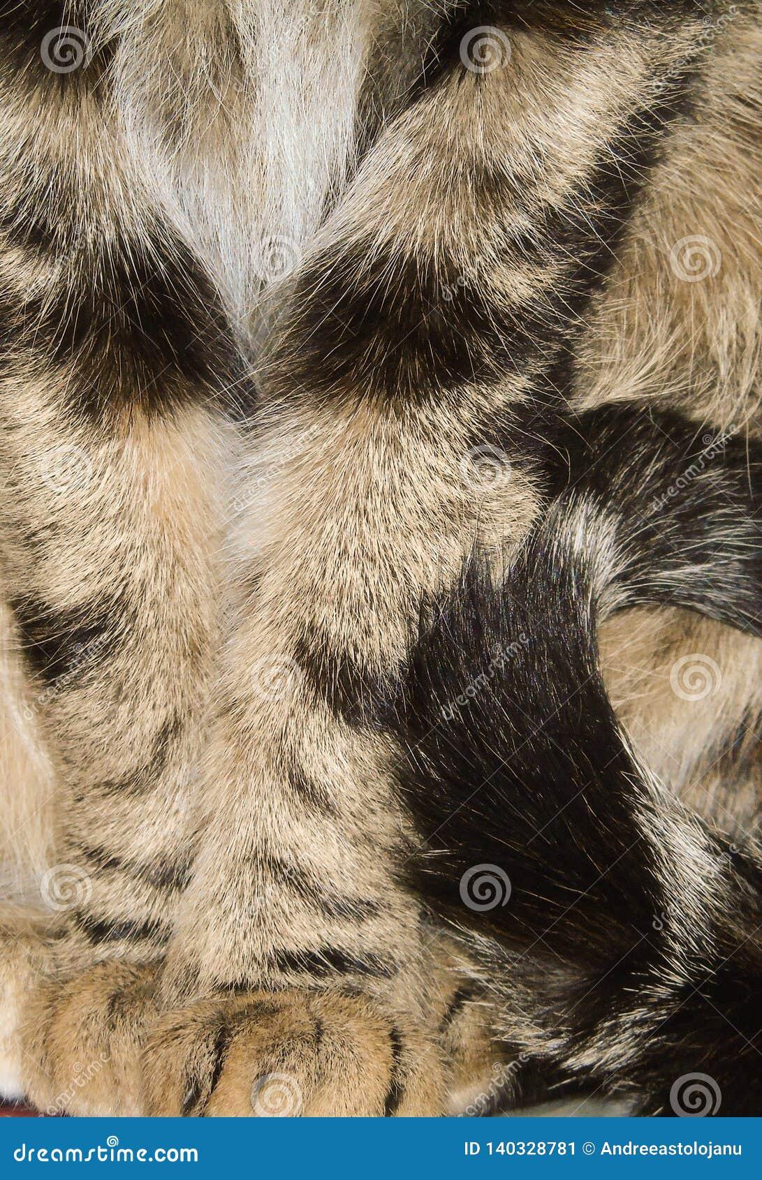Primer del gato rayado tricolor, coloreado fondo felino, del animal doméstico, detalle de patas y cola