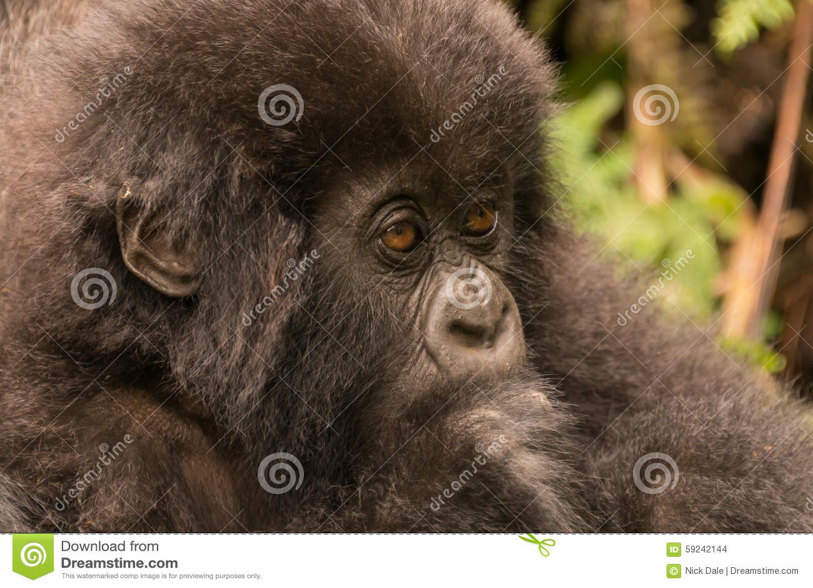 Download Primer Del Gorila Del Bebé Que Mira Fijamente En Bosque Foto de archivo - Imagen de eastern, selva: 59242144