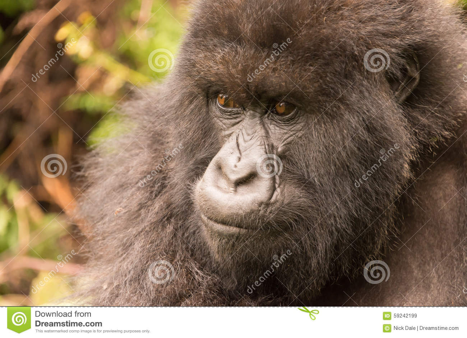 Primer del gorila en bosque que mira fijamente cuidadosamente