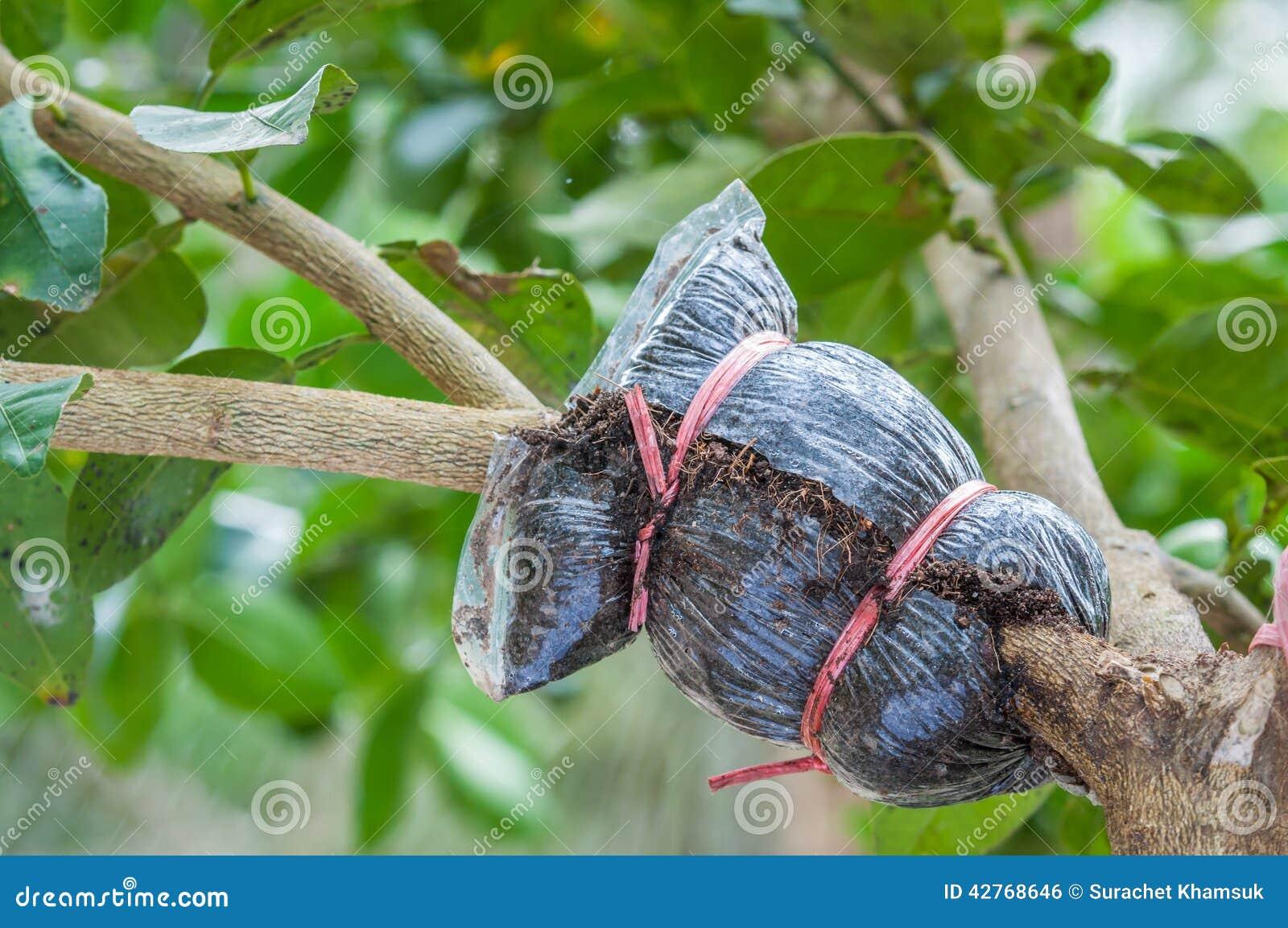 Primer del injerto en rama de árbol de cal en el jardín