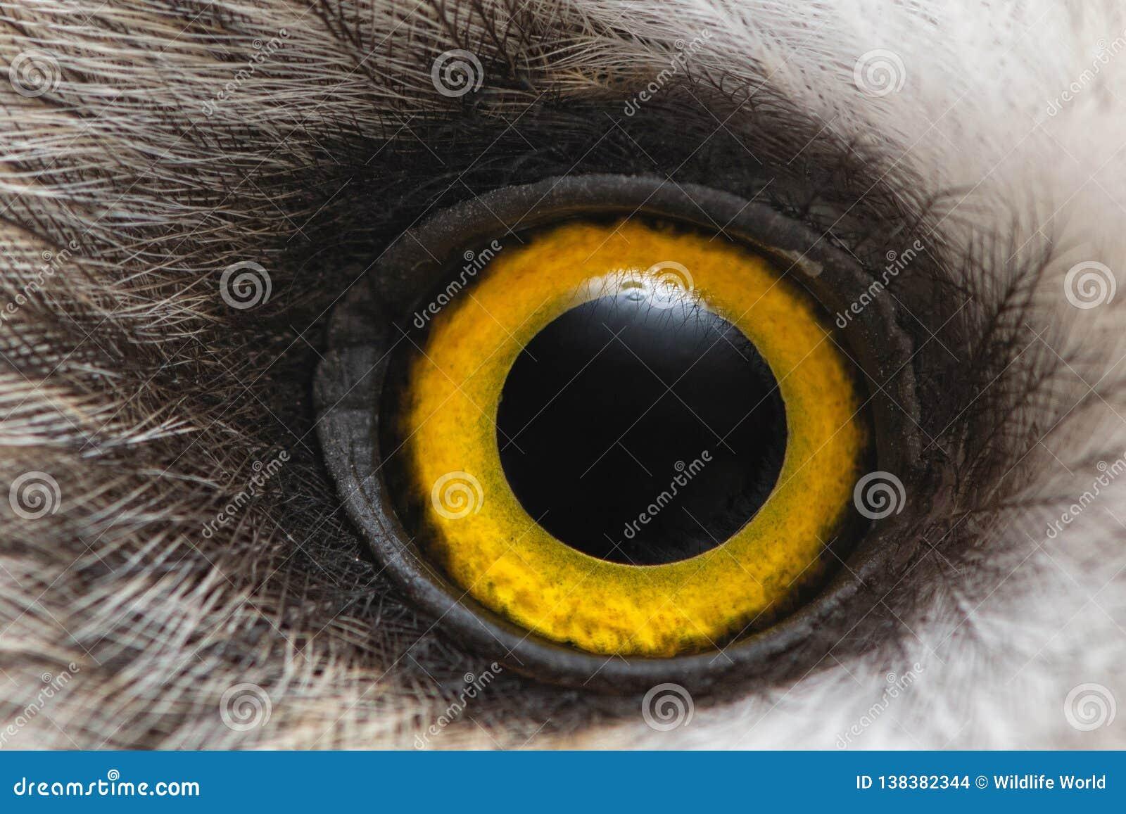 Primer del ojo del búho, foto macra, ojo del búho de orejas cortas, flammeus del Asio