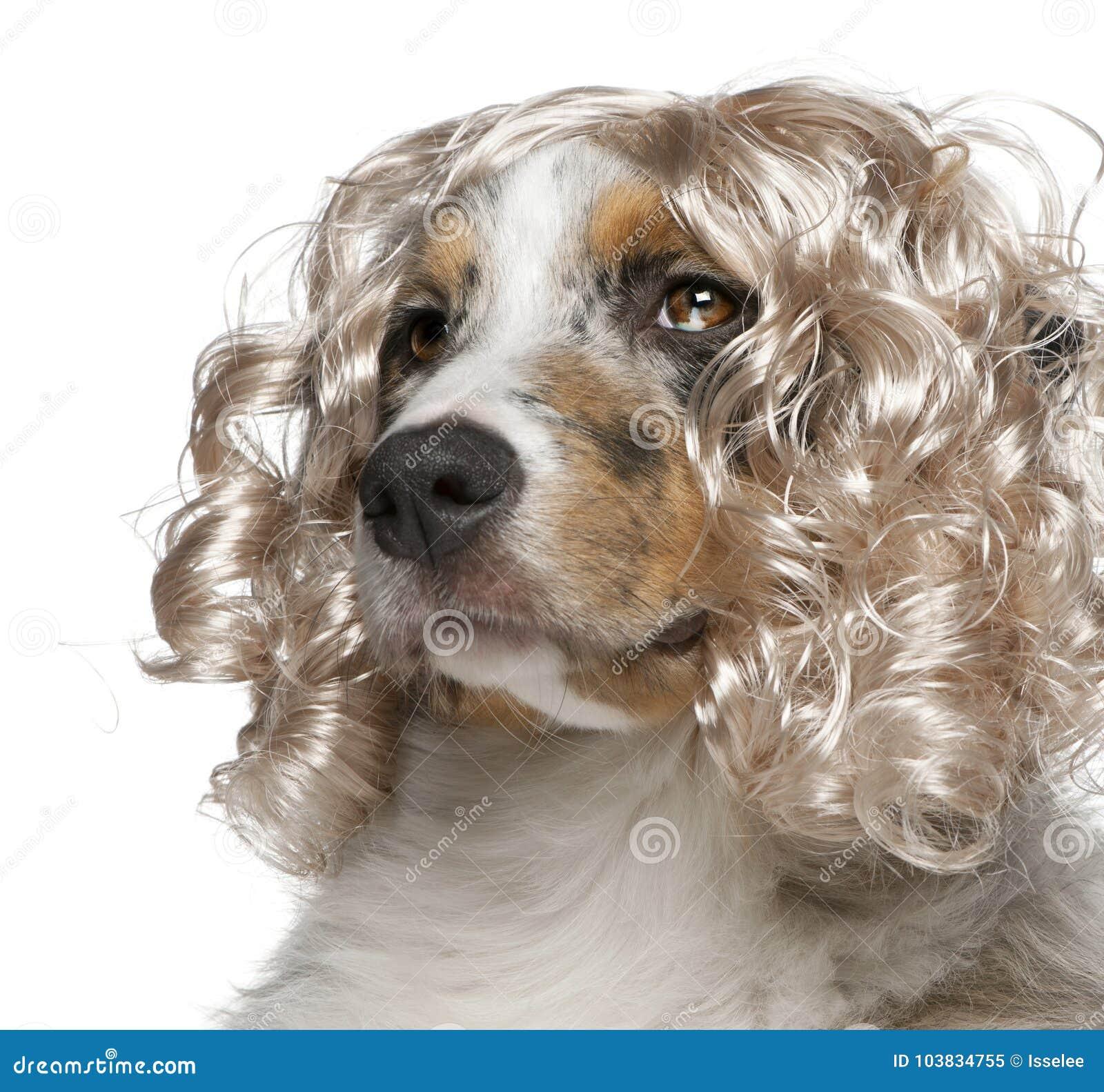 Primer del perrito australiano del pastor que lleva una peluca