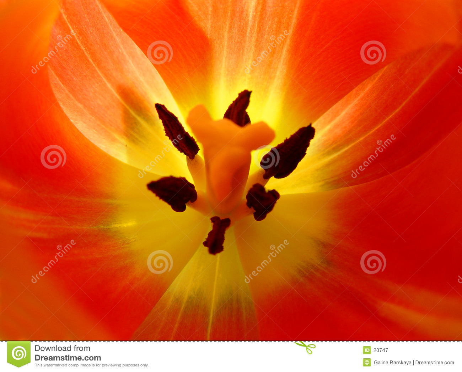 Primer del tulipán