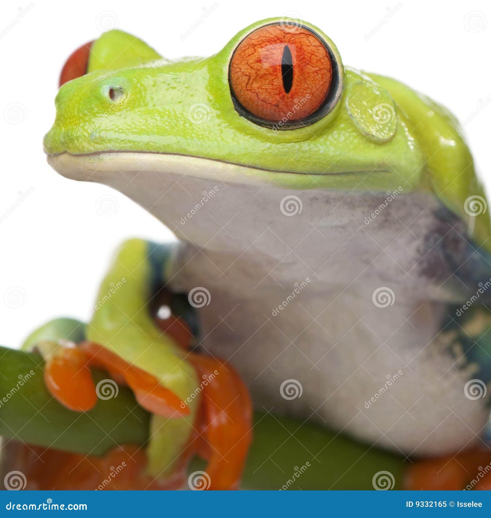 Primer en una rana de árbol Red-eyed - llamada de Agalychnis