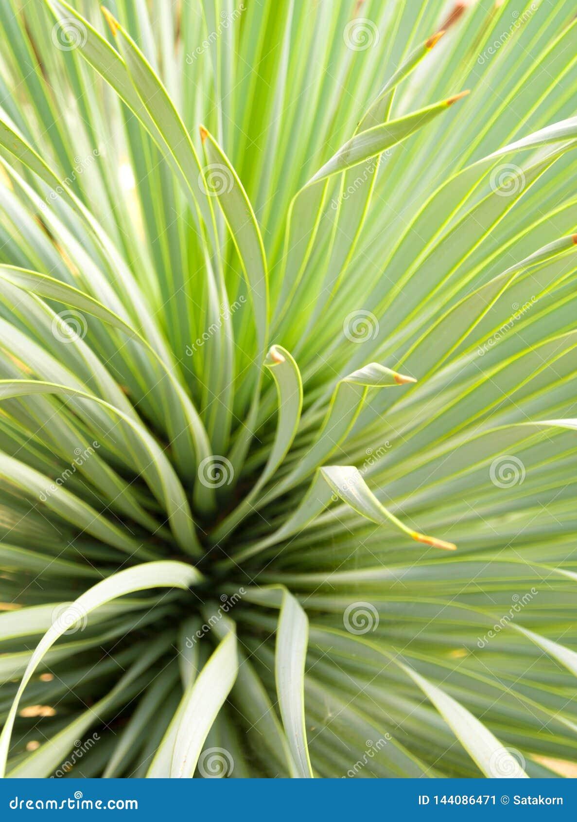 Primer, espina y detalle suculentos de la planta de la yuca en las hojas de la yuca de Narrowleaf