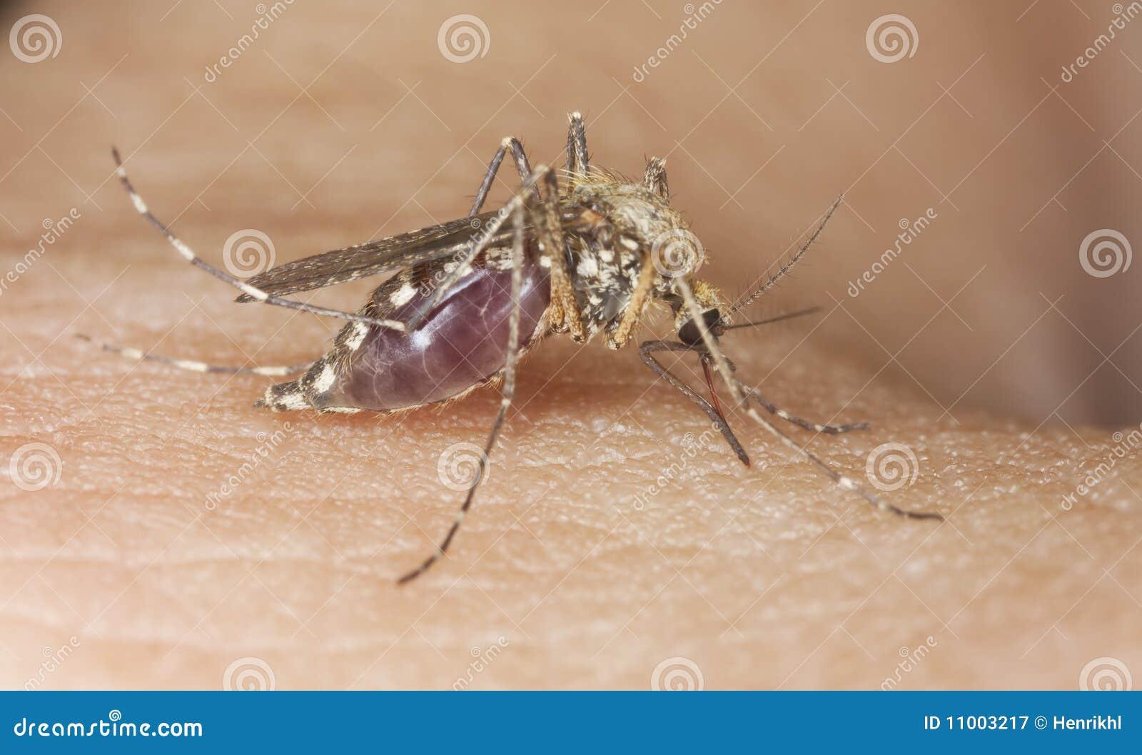 Primer extremo de la sangre que aspira del mosquito.