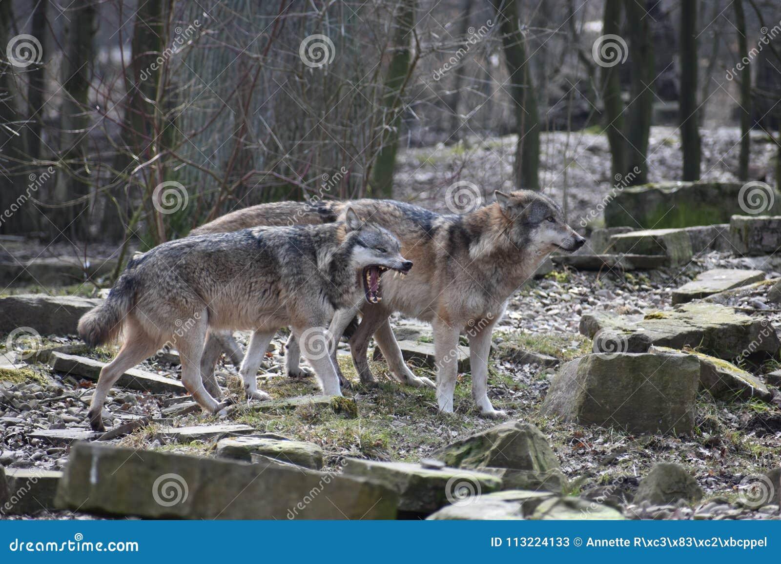 Primer Hermoso De Dos Lobos Salvajes En Un Bosque En Alemania Imagen