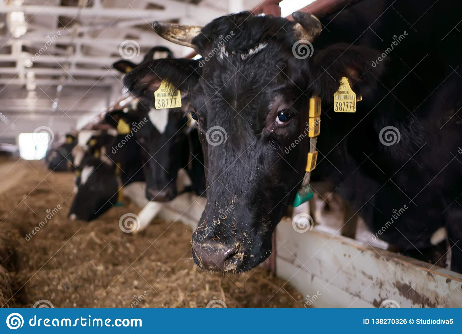 Primer principal de la vaca en una pluma en una granja lechera