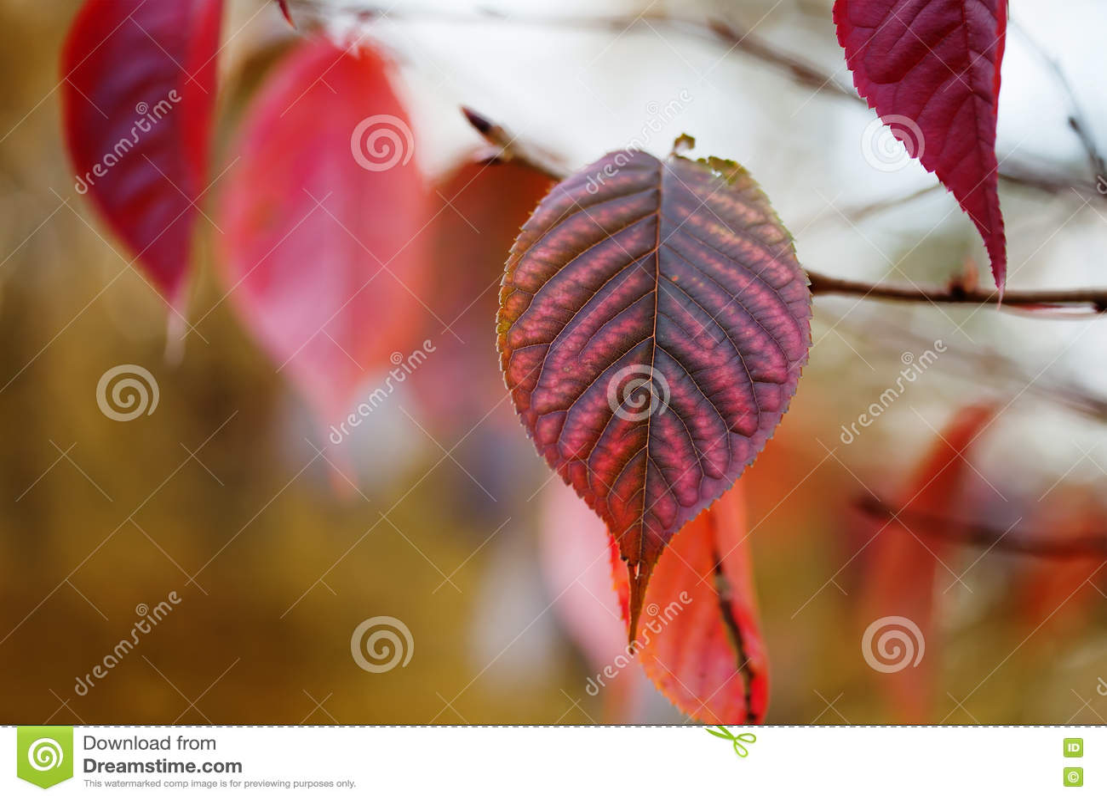 Primer rojo de la hoja del otoño Escena del parque de octubre con la rama de árbol Foco suave Profundidad del campo baja