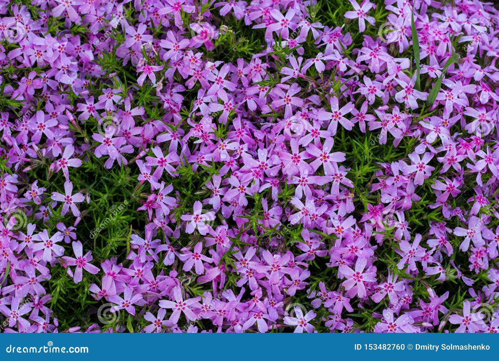 Primer rosado de Aubrieta, pequeñas flores rosadas en el jardín Dise?o del paisaje en el jard?n bot?nico