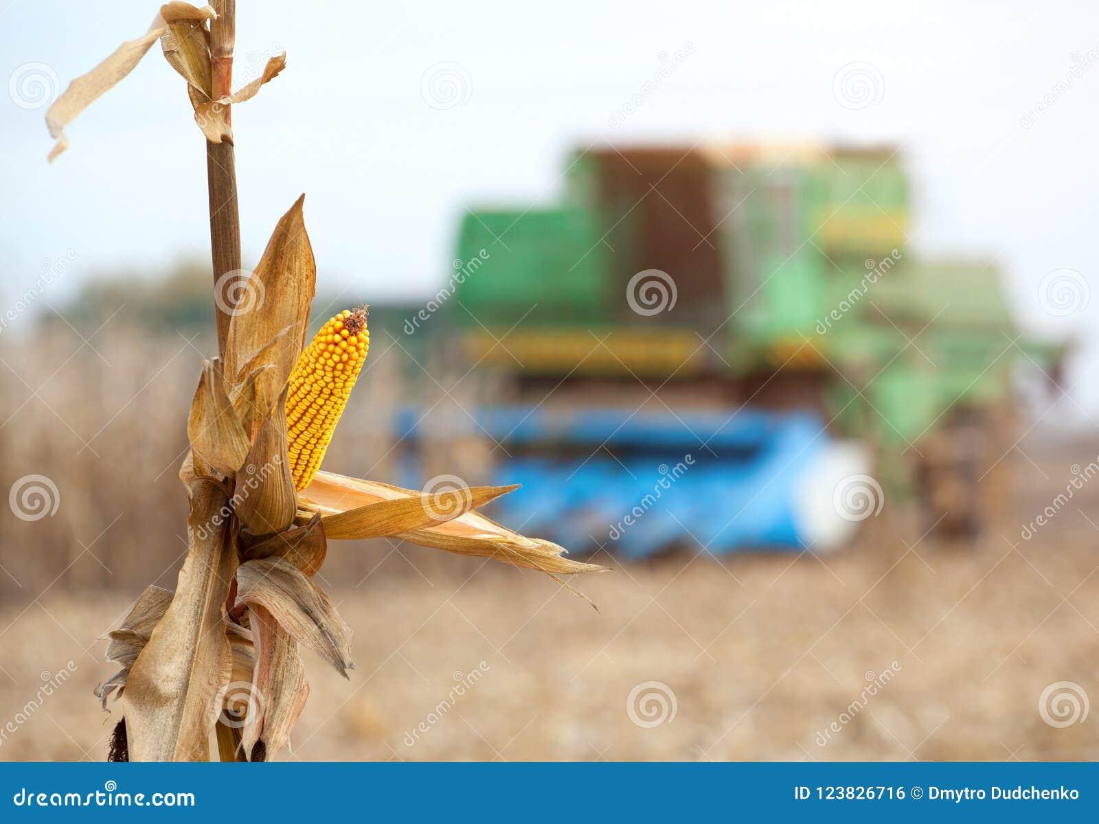 Primer seco de la mazorca de maíz Una máquina segadora grande cosecha maíz en el campo en un día soleado
