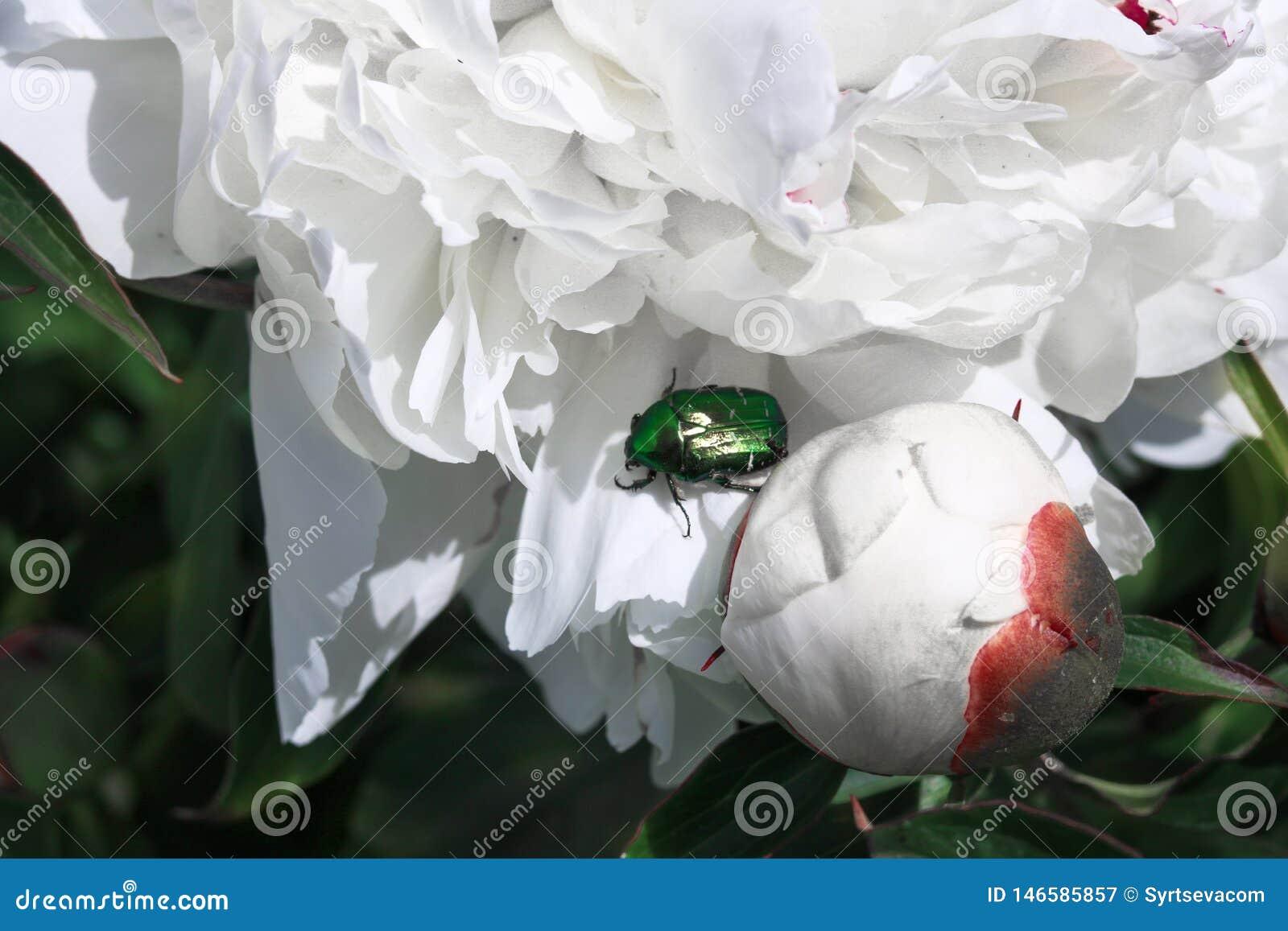 Primer verde del escarabajo en una flor blanca en un fondo de hojas verdes