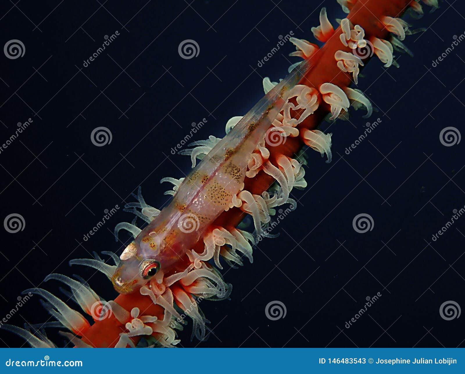 Primer y tiro macro del gobio coralino del azote durante zambullida del ocio en Sabah, Borneo