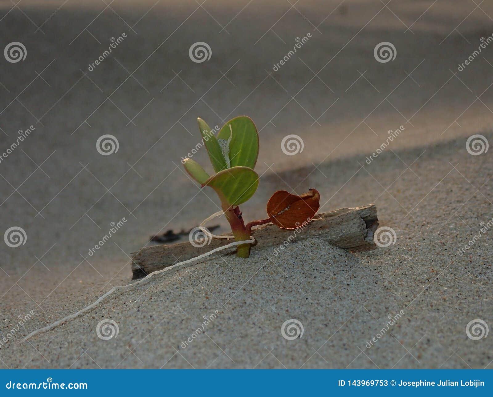 Primer y tiro macro en la hoja min?scula de la flor de la correhuela que crece en la orilla de mar