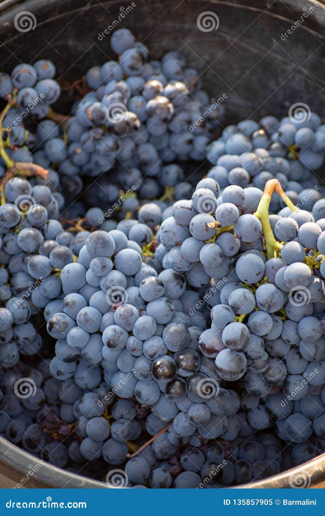 Primera nueva cosecha de la uva de vino negra en Provence, Francia, lista para primero presionar, festival tradicional en Francia