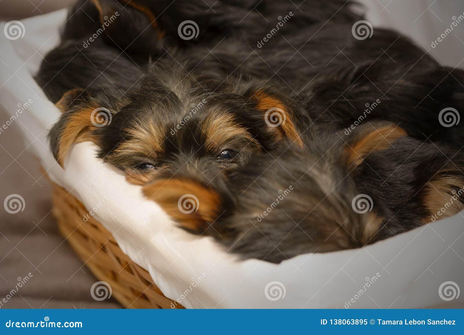 Primero plano de un perrito soñoliento de Yorkshire Terrier